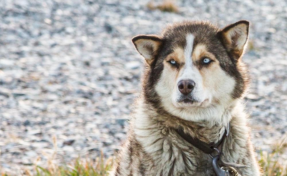 white and grey Alaskan Malamute