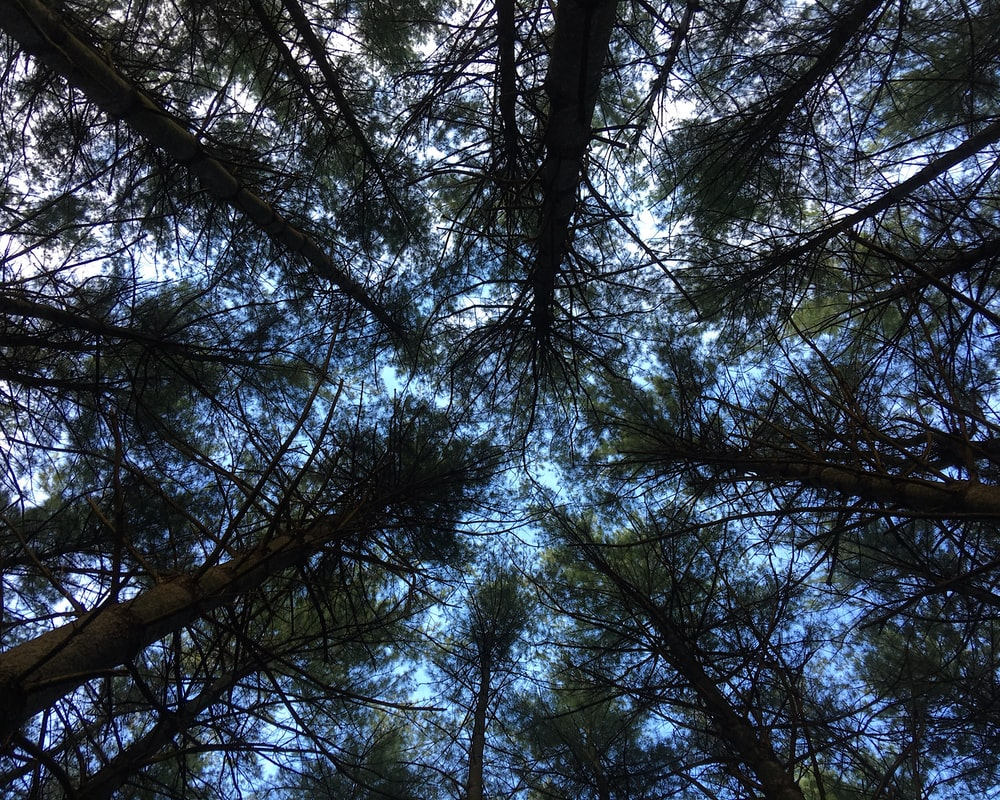 low angle photography of tall trees during daytime