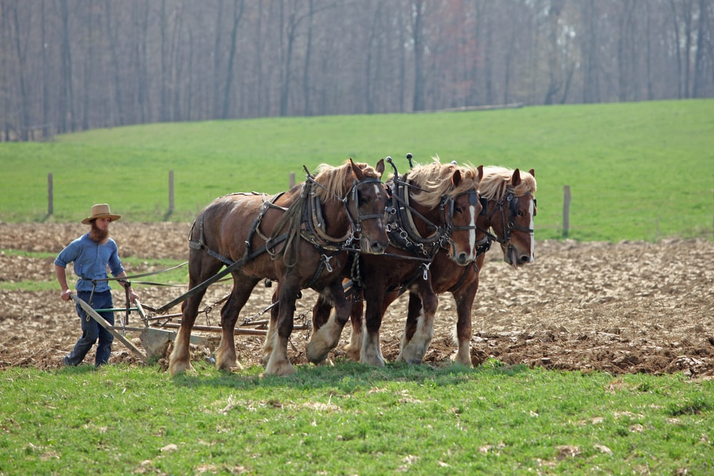 person guiding three brown horses