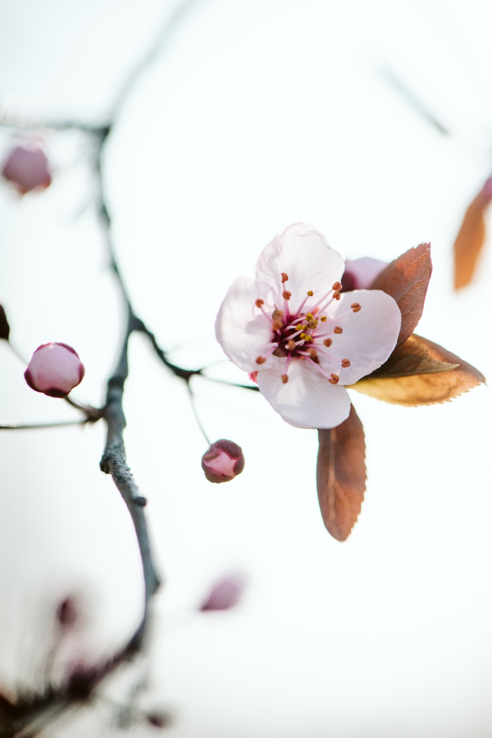 selective focus photo of cherry blossoms