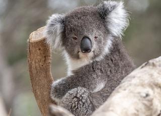 gray and white koala bear on tree