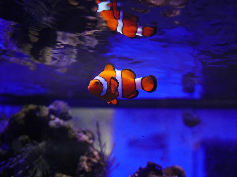 clown fish under water
