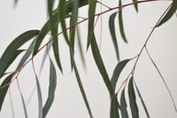 Grey green leaves and red stems make a pleasing silhouette against a pale wall.