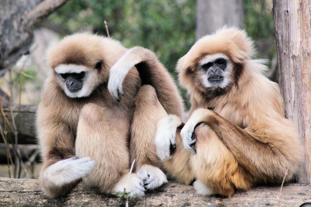 two brown monkeys sitting on brown tree