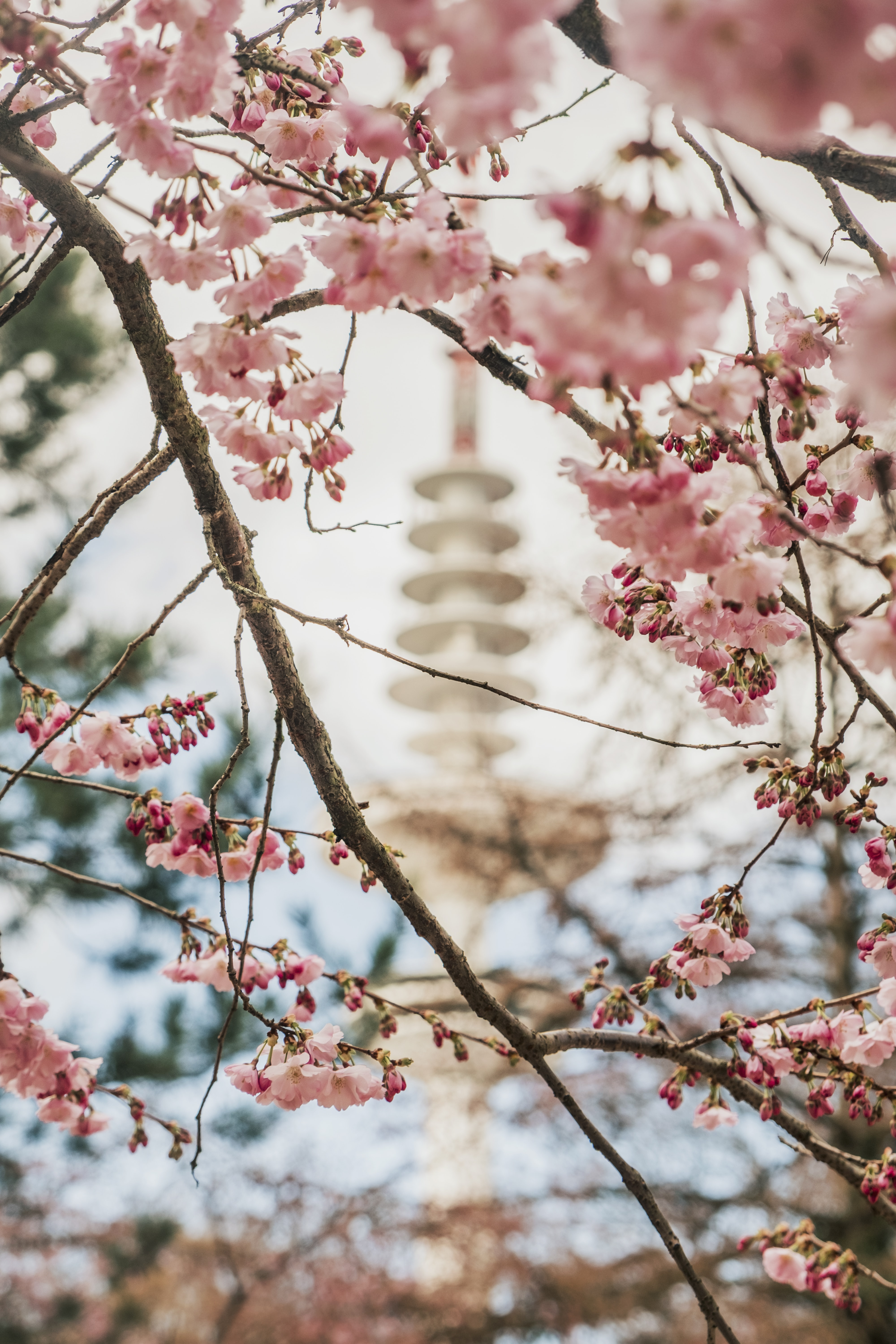 selective focus photography of cherry blossom at daytime