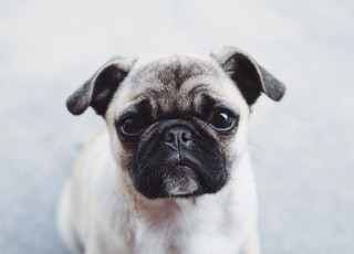 gray and brown pug