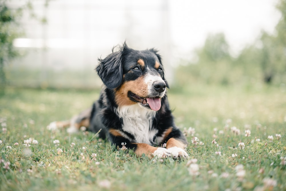selective focus photography of black, brown, and white dog lying on green grass field