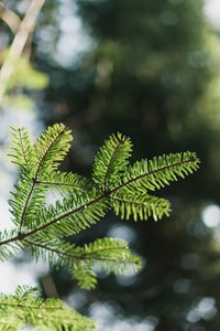 Forest bokeh pines