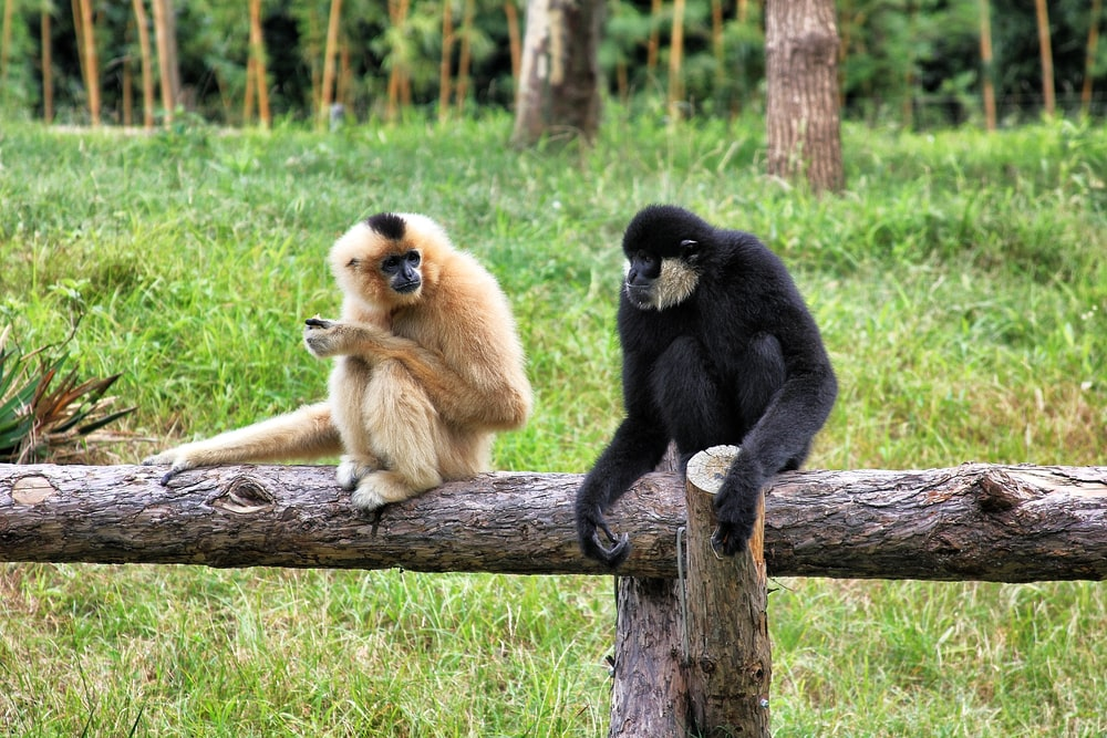 two black and brown monkeys