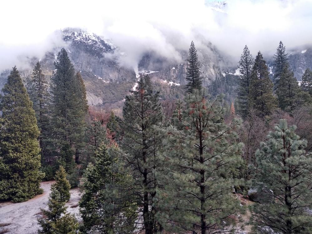 green pine trees scenery