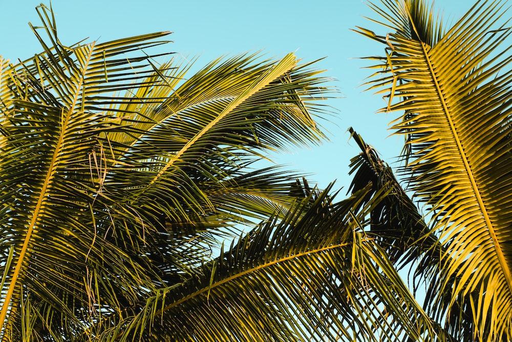 green coconut leaves under blue sk