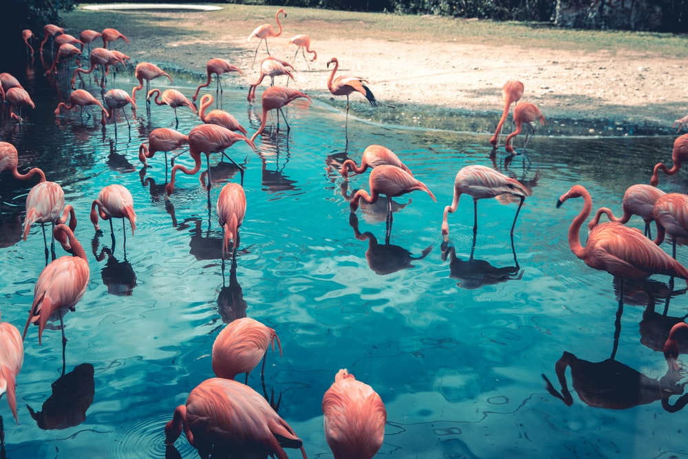 flock of flamingo on body of water