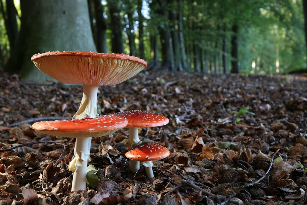 shallow focus photography of red mushrooms
