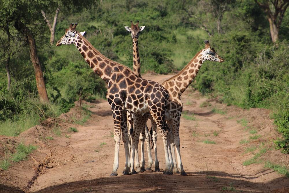 three brown giraffe standing on road during daytime