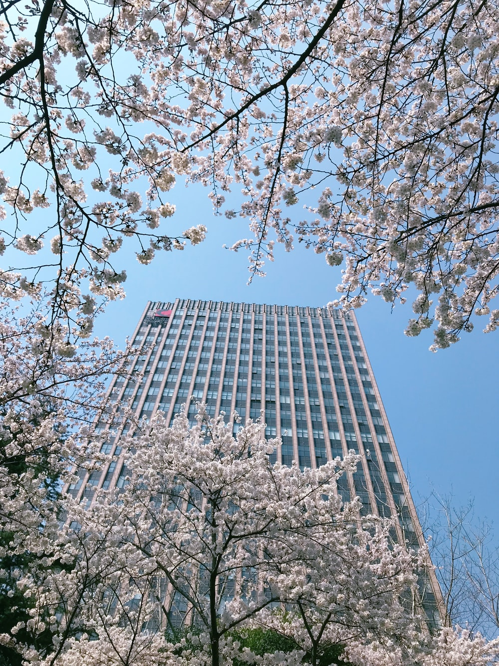 white cherry blossoms in bloom in front of tall building