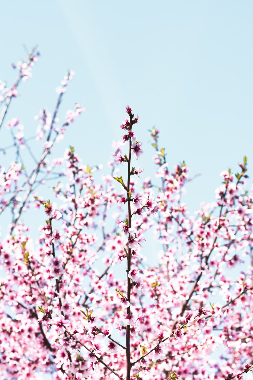 low-angle photography of Cherry Blossom