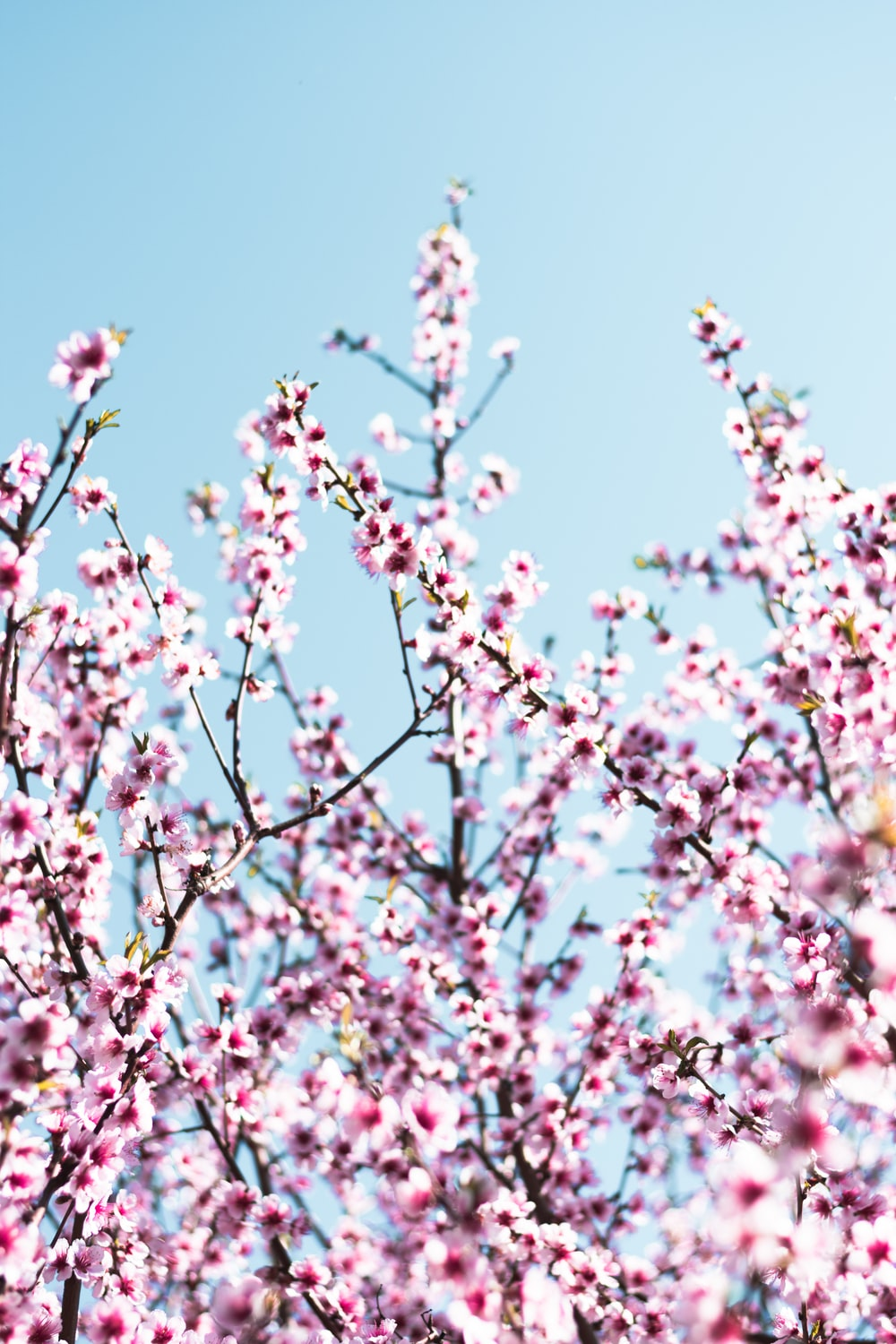 white and pink cherry blossom flowers
