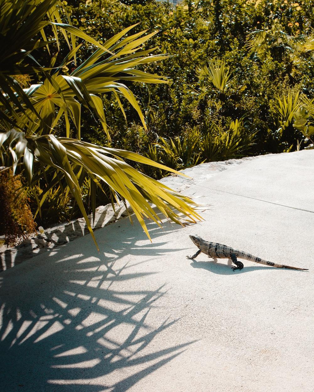 brown and gray iguana walking