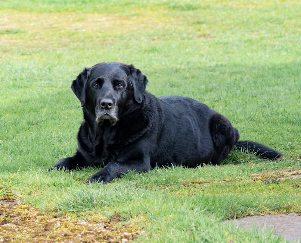 adult black Labrador retriever lying on grass field