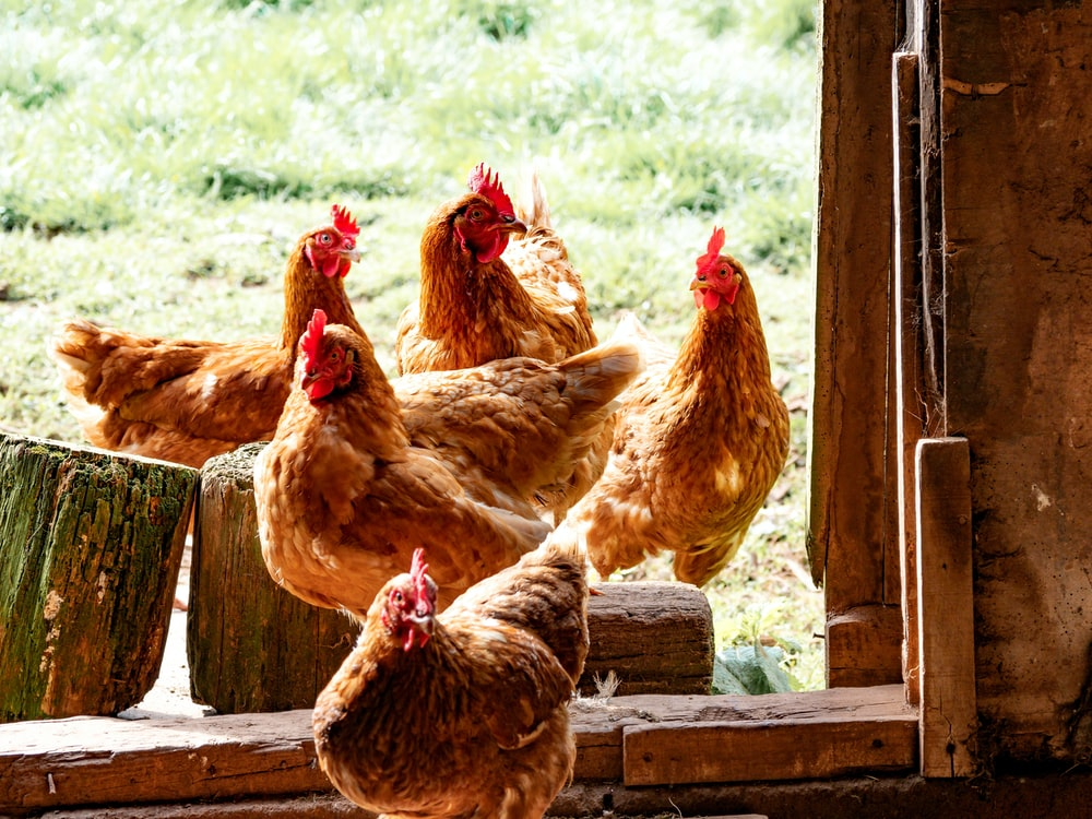 six brown hens beside wall during daytime
