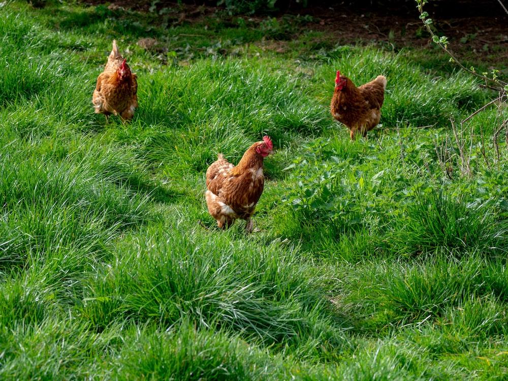three hens walking on green grass