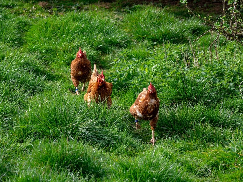 three hen on grass field