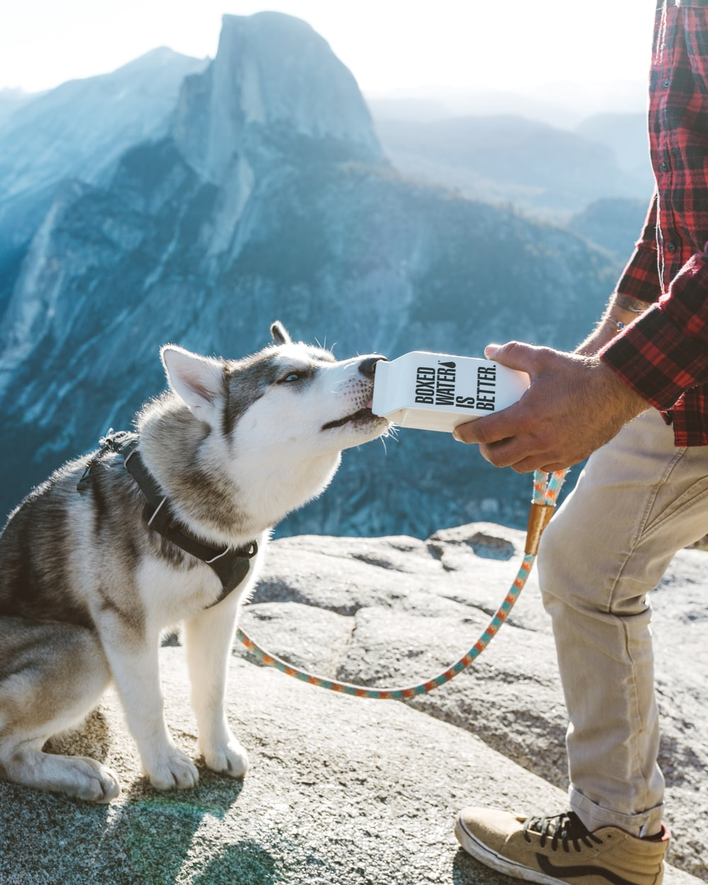 A gray and white husky drinking water out of a Boxed Water carton