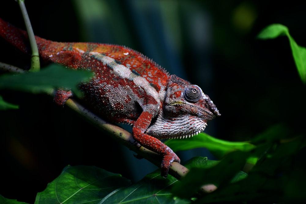 red chameleon crawling on stem