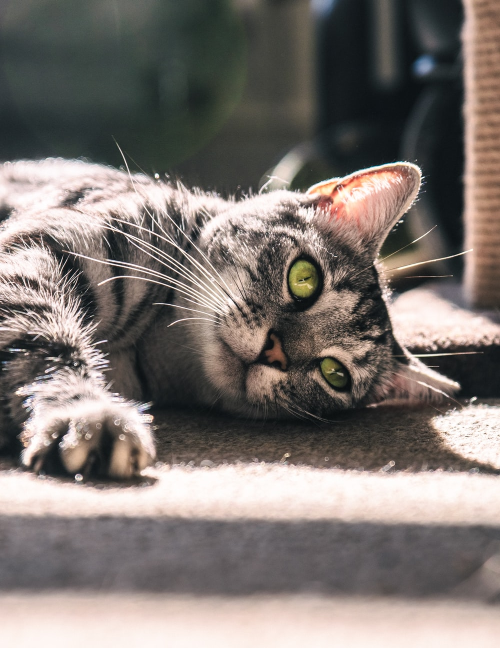 silver tabby cat lying on gray surface