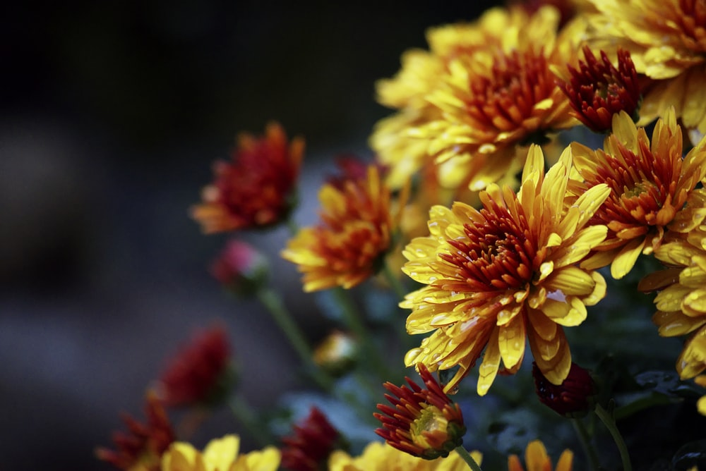 yellow and re petaled flowers in close-up shot