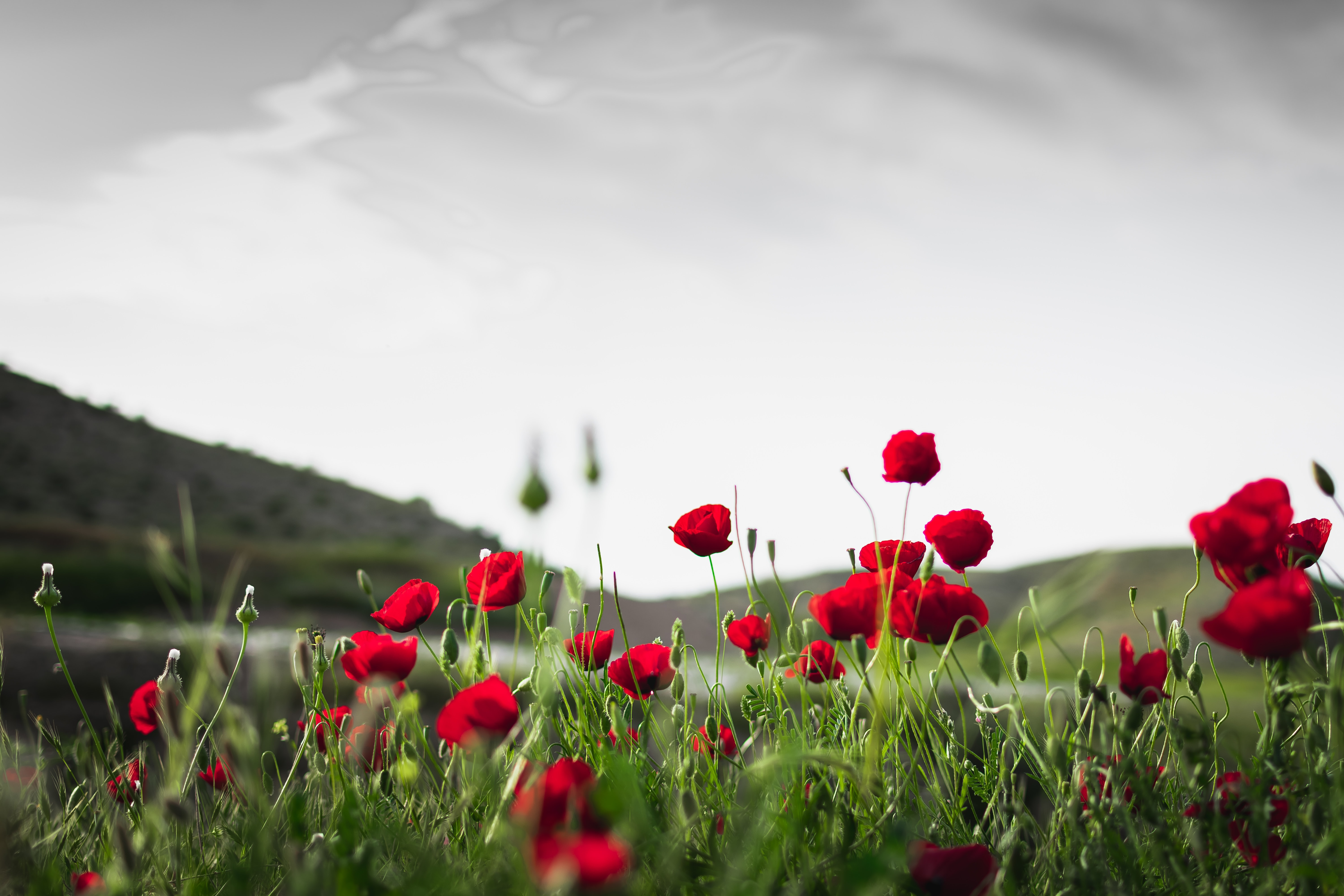 red roses in bloom in green grass fields