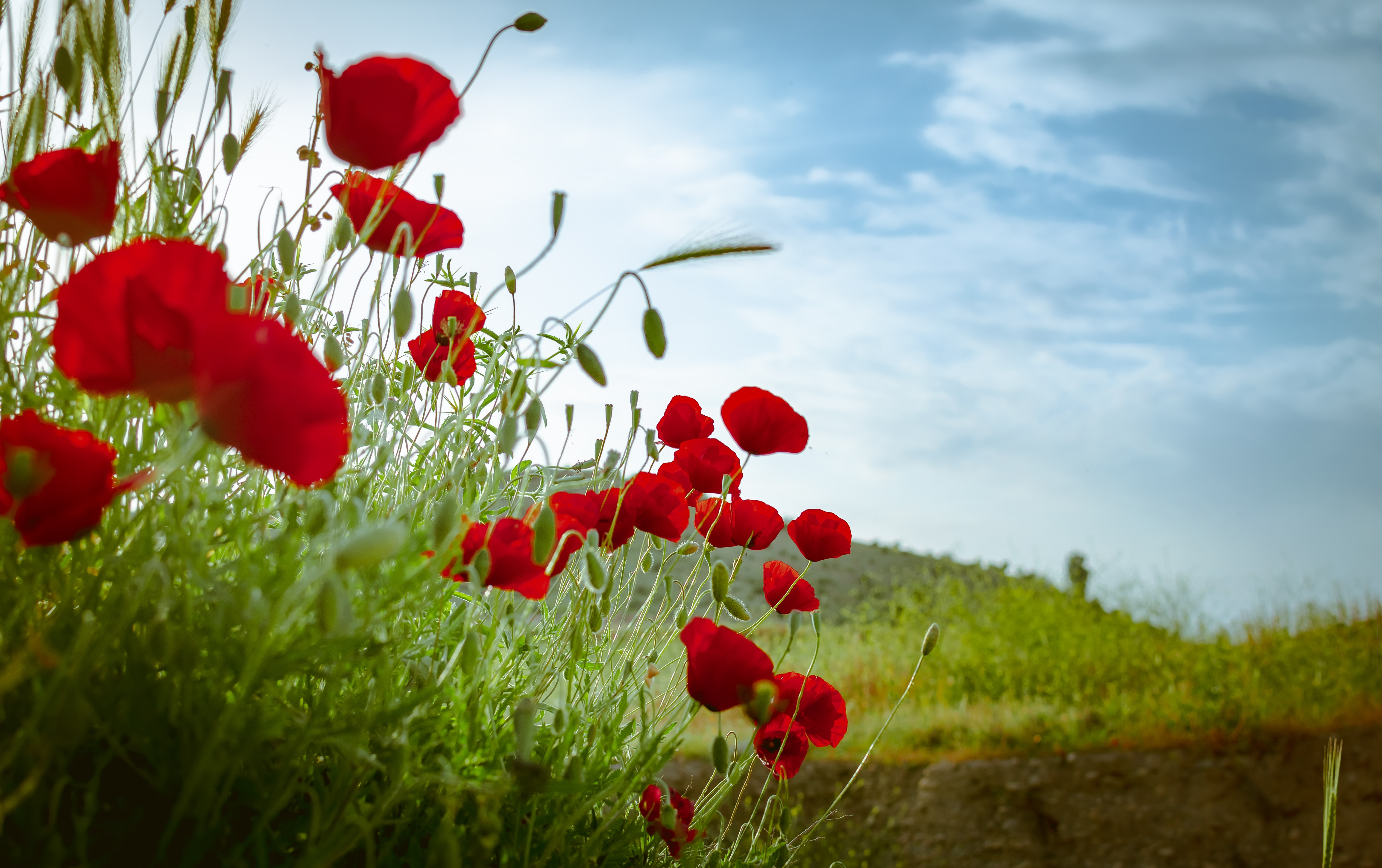 red poppy flowers during daytime