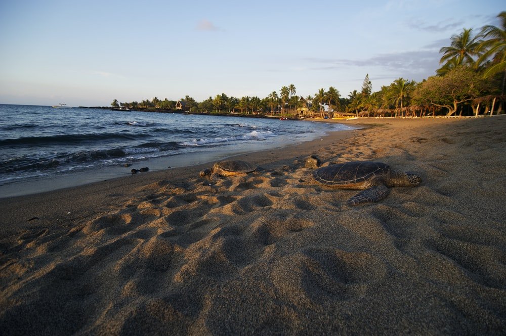 brown sea turtle on brown sand