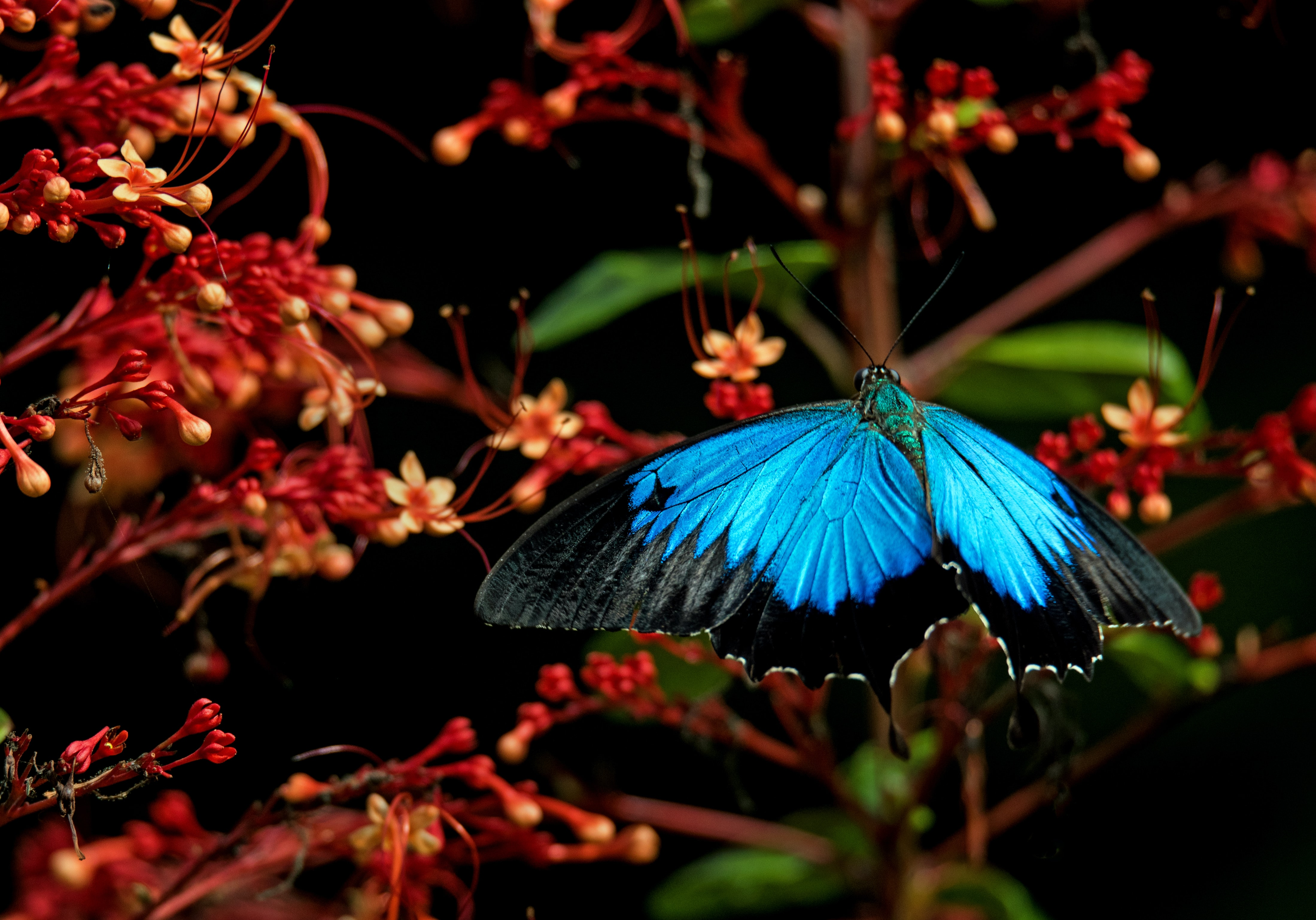 blue morpho butterfly during daytime