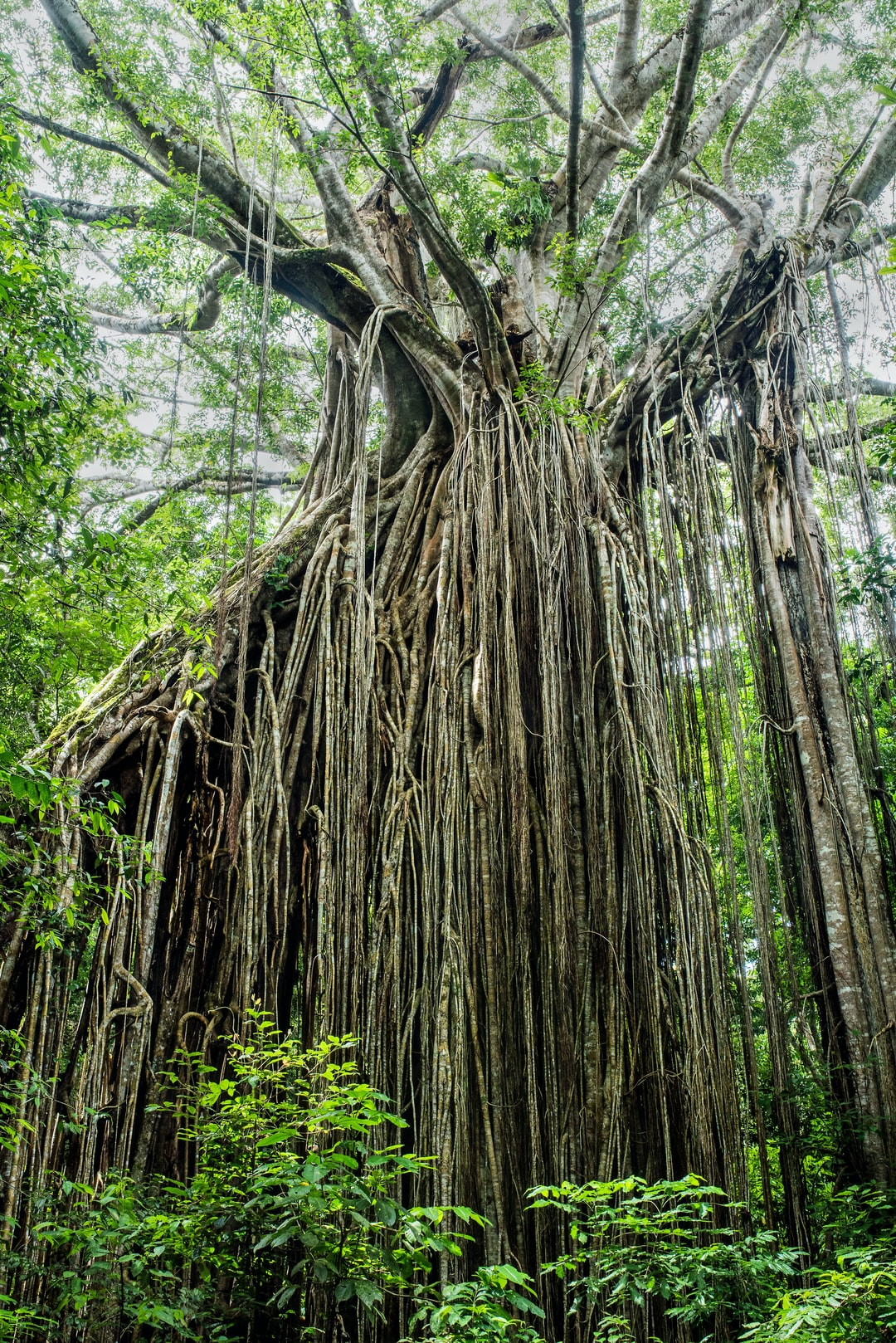 Curtain fig tree, Atherton Tablelands, Australia. How would this fig tree form a curtain of roots like this? A tree that may have been dead already would have blown over in the forest, and ended up at an angle propped up against another tree. A bird that had eaten figs elsewhere would have landed on this slanted tree, and deposited fig seeds. One of these germinated and grew roots down along the the slanting tree trunk, as well as growing roots straight down, forming a curtain of roots. The original slanting tree has since rotten away and disappeared.