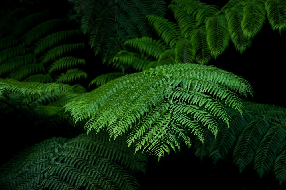 fern plant with black background
