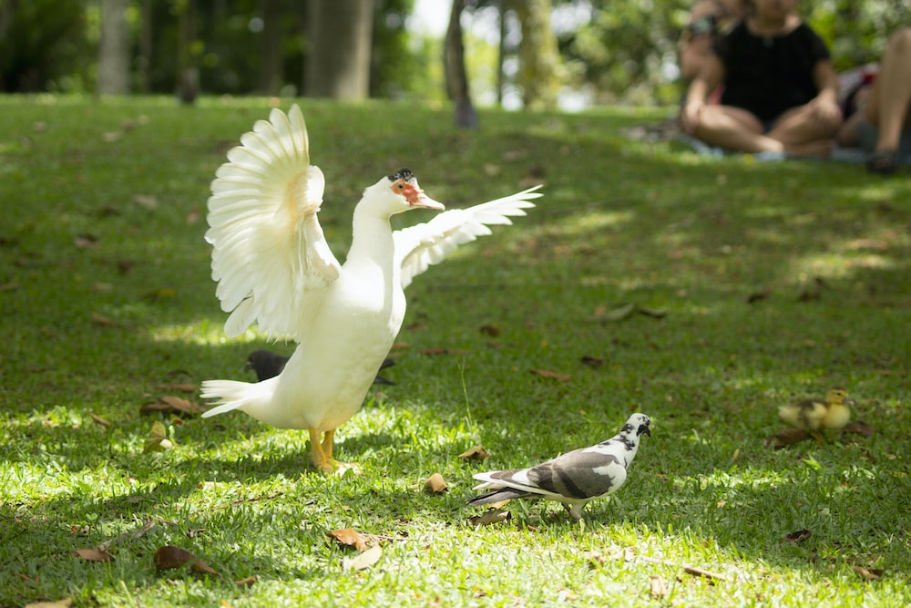 white duck near the white and black pigeon on lawn during daytime