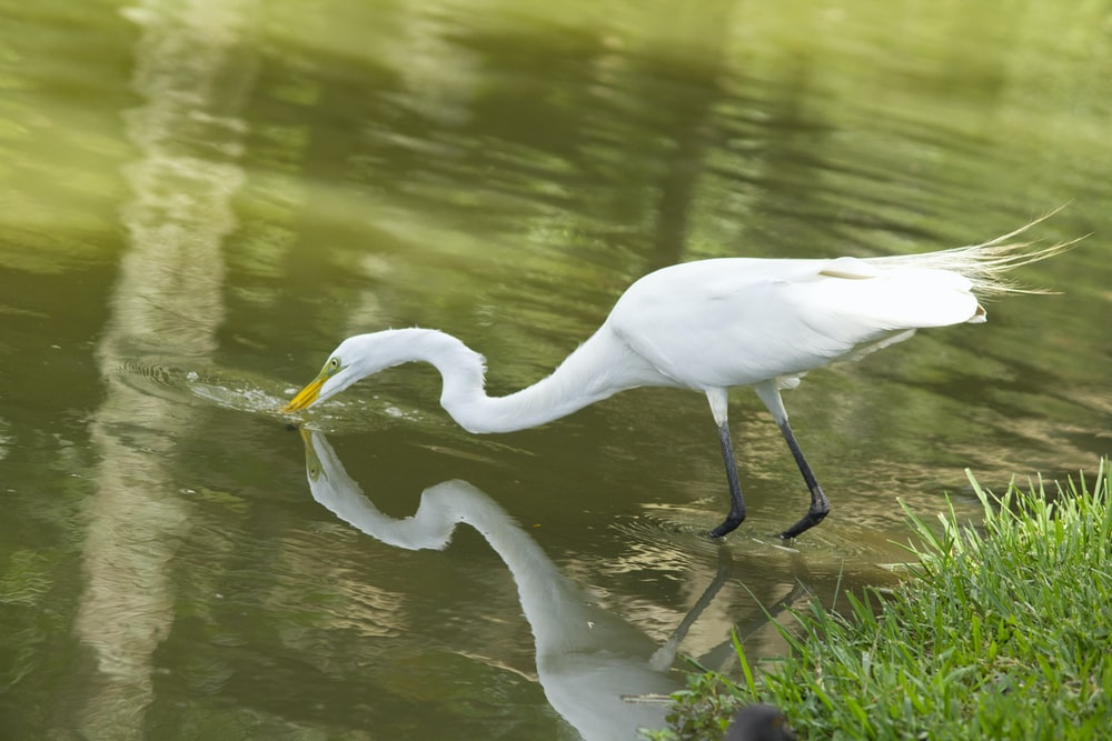 white bird drinking