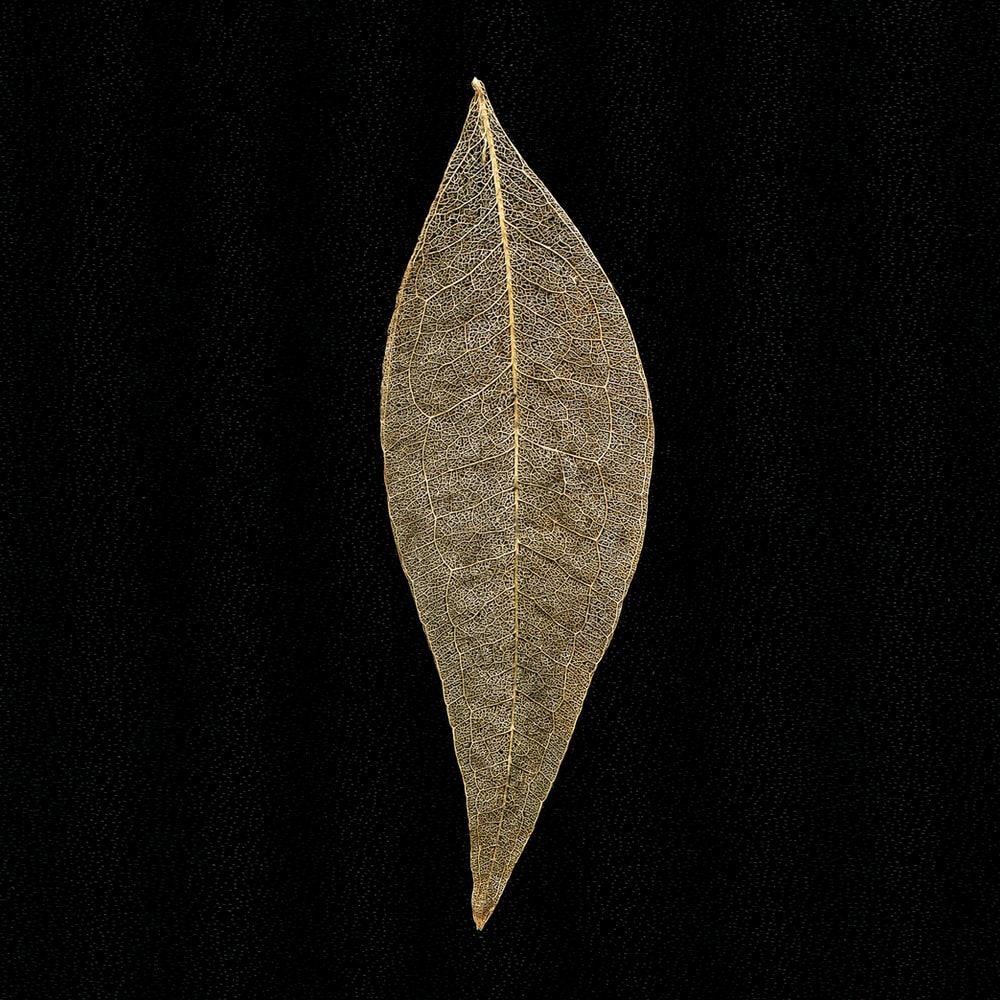 brown leaf with black background