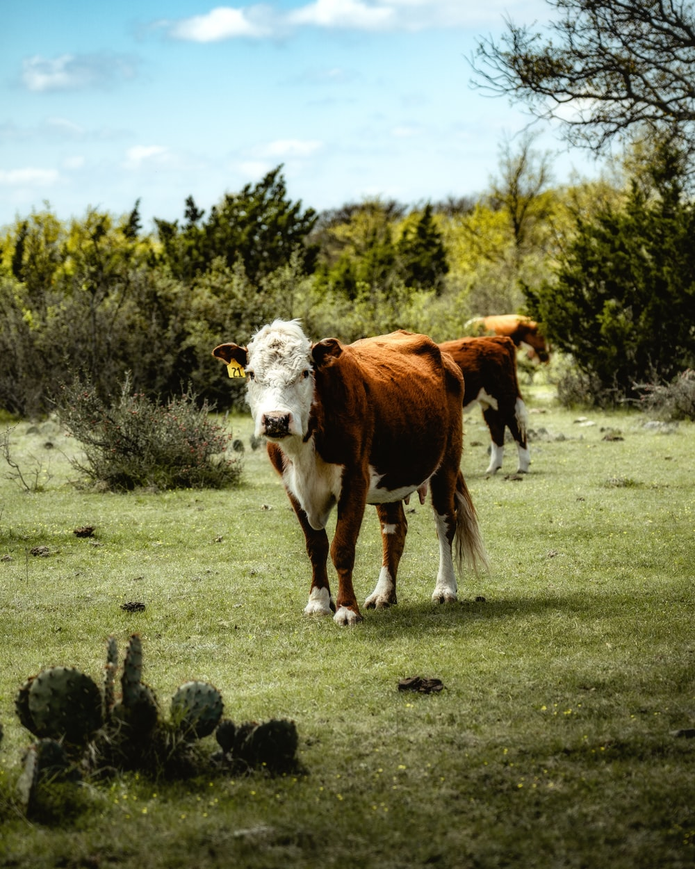 white and brown cow on grass field