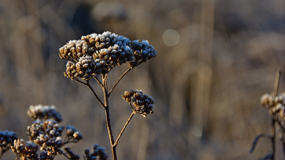 Frost-bitten yarrow plant (Achillea millefolium), Waipiata, Otago, New Zealand