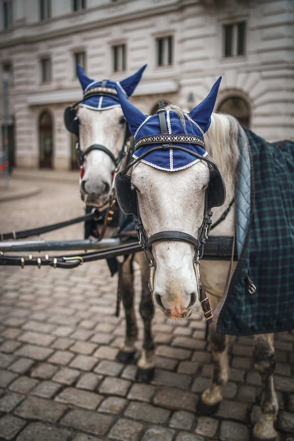 two leashed white horses wearing hats