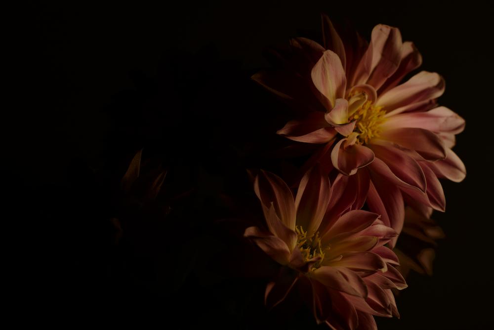 peach-color daisy flowers