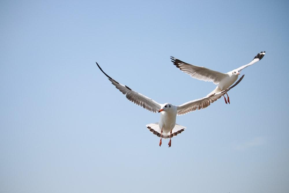 two white birds flying under blue sky