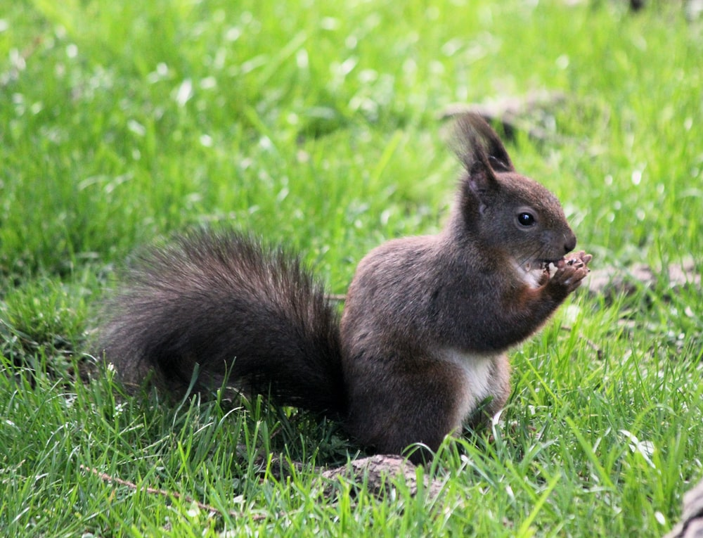black and white squirrel standing on the grass during daytime