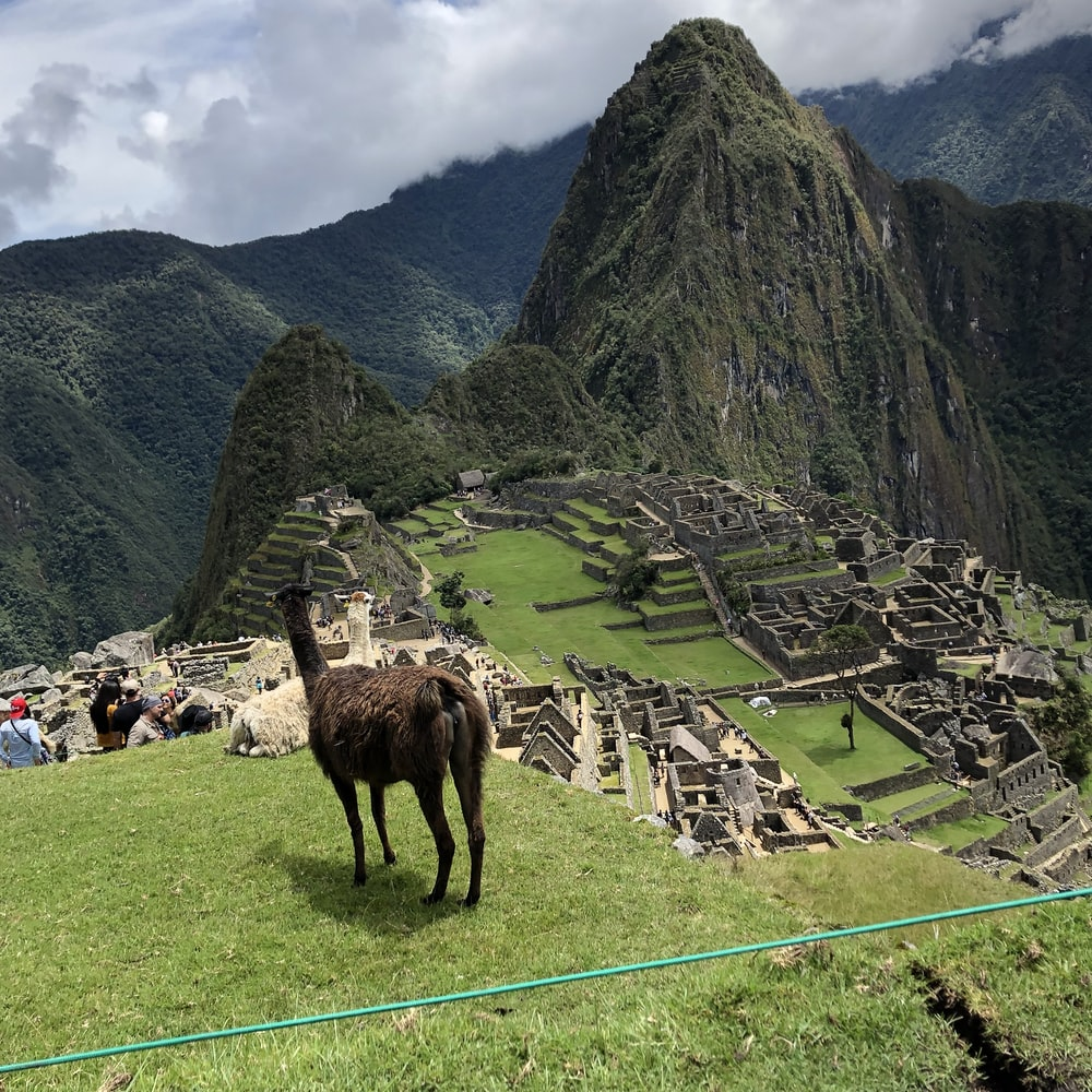 llama on grass field near Machu Pichu