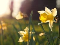 daffodils in a spirng sunset