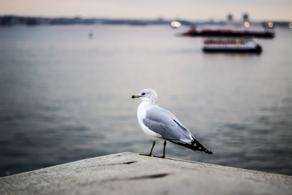 selective focus photography of gray and white bird on concrete pavement near body of water