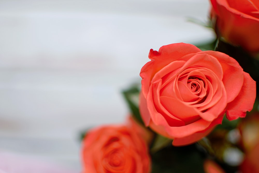 close-up photography of red rose flower