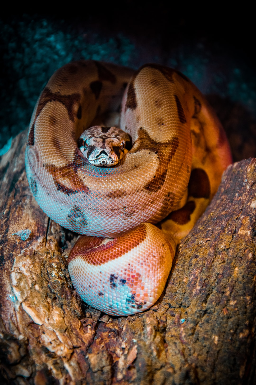 Young Boa Constrictor chilling on the tree at night